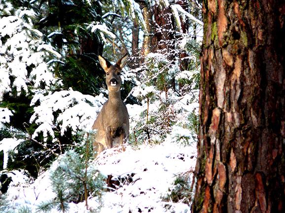 212-v - – Foto: ©Louis Fraanje Ree in winter