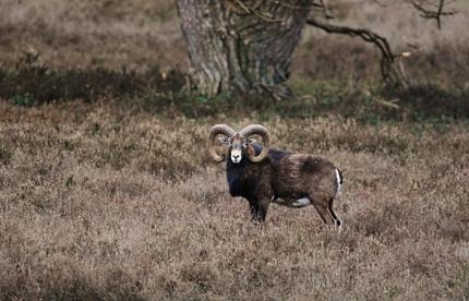 Moeflonram in de heide - Foto: ©Louis Fraanje