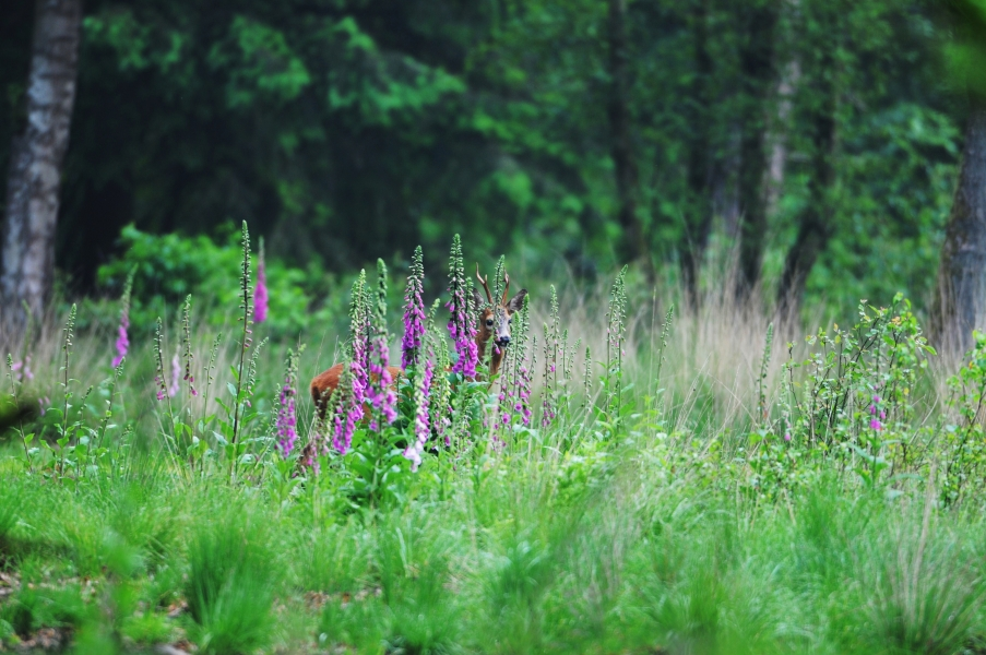 Reebok verschuilt zich achter het Vingerhoedskruid - Foto: ©Louis fraanje