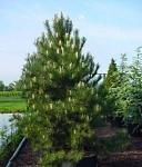 Oostenrijkse bergden (Pinus nigra nigra)