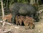 wild zwijn met biggen