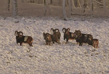 Moeflons in de sneeuw - Foto: ©Louis Fraanje