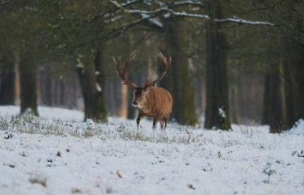 Edelhert sneeuw