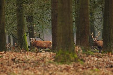 Een 'onttroonde' koning tussen de bomen van het Veluwse bos en even verderop nog een trots jong hert. Maar ook hem wacht over een tijdje hetzelfde lot