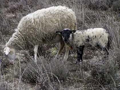 Lam met schaap