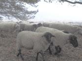 schapen in een hagelbui