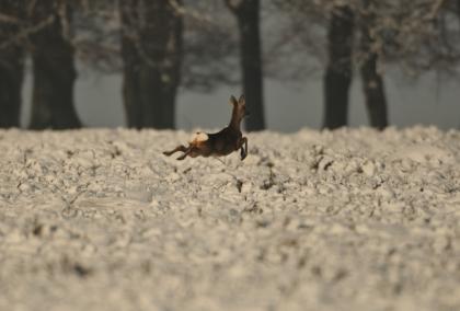 Reigeit boven de sneeuw