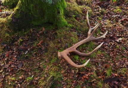 Een afgeworpen geweistang van een ander hert ergens in het Veluwse bos