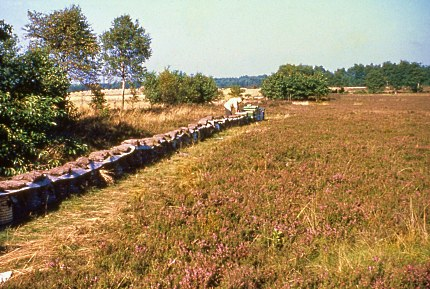 Bijenkorven op de Veluwse heide omstreeks 1960 (Foto: Bertus Kleut)