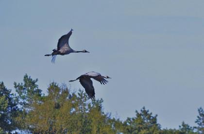 Echtpaar kraanvogel trekt naar het broedgebied - Foto: Louis Fraanje (klik om te vergroten)