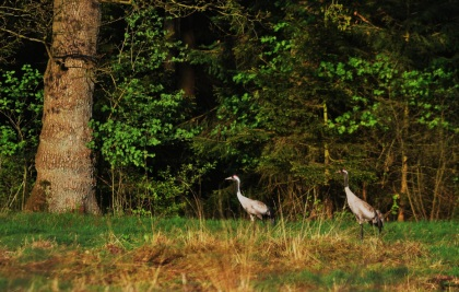 Het paartje kraanvogels op de Lüneburger Heide - Foto: Louis Fraanje (klik om te vergroten)
