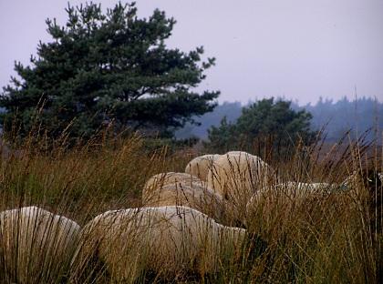 Schapen in hoog gras