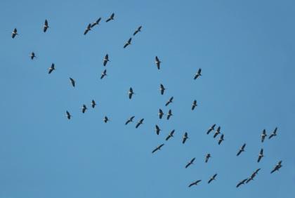 Schitterend schouwspel van de kraanvogels - Foto :Louis Fraanje (klik om te vergroten)