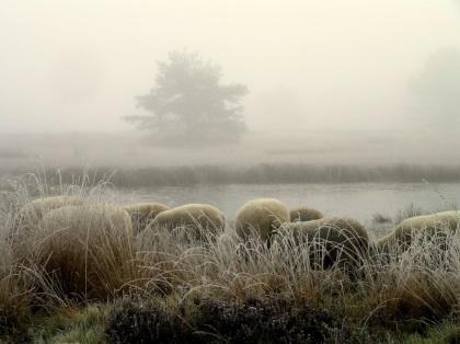 Voorzichtig waagden enkele schapen zich op het dunne laagje ijs (klik om te vergroten