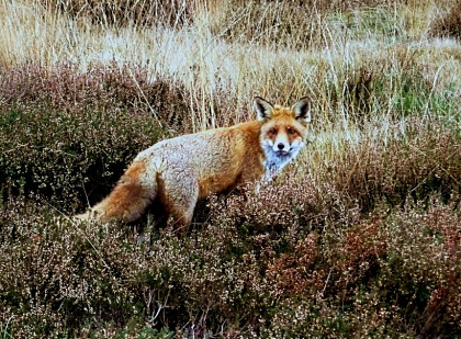 Zelfs de vos word verjaagd - Foto: Louis Fraanje (klik om te vergroten)