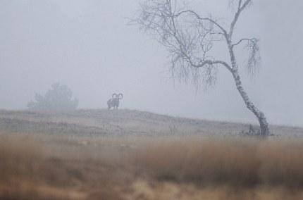 Moeflon op een heuvel in de mist - Foto: ©Louis Fraanje