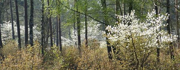 Prachtig bloeien de krentenbomen tussen de dennen - Foto: ©Louis Fraanje
