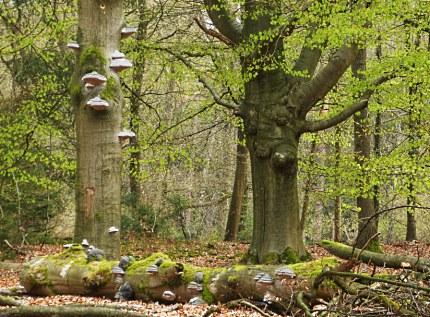 Dode bomen liggen onder de levende bomen - Foto: Louis Fraanje
