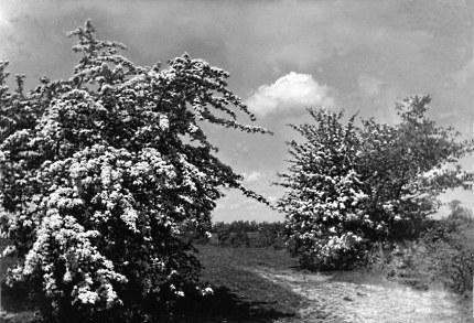 Bloeiende meidoorns bij de Barneveldse Beek - De eerste foto van Jac. Gazenbeek (Klik om te vergroten)