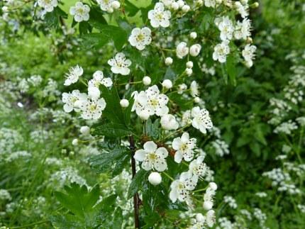 Bloemen van de Tweestijlige Meidoorn (Crataegus laevigata) klik om te vergroten