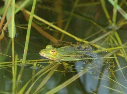 Groene kikker lag heel stil een vrouwtje in het water foto ©Louis Fraanje