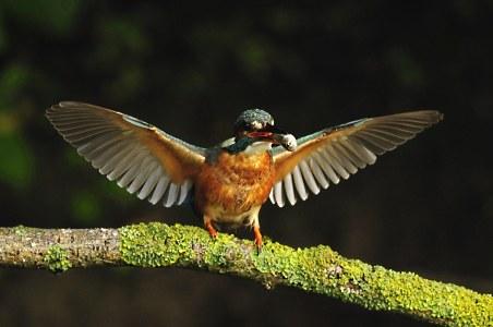 IJsvogel  vrouwtje in extase