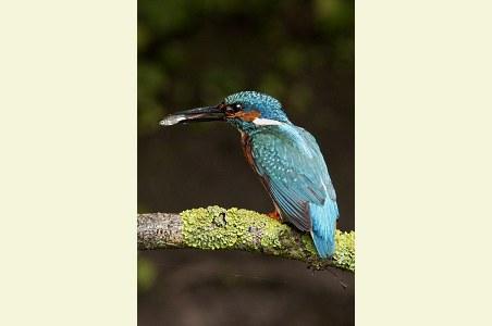 IJsvogel mannetje met visje