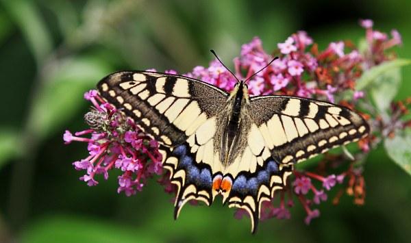Koninginnepage op vlinderstruik (foto: Dick van den Bor)