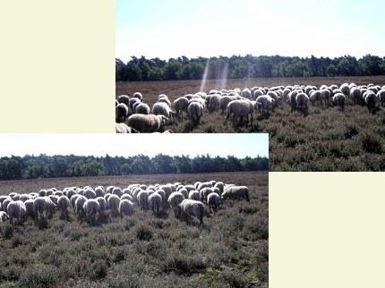 Zoekende schapen