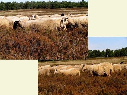 Boze schapen op de dorre heide