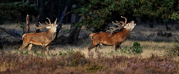 Twee geweidragers laten hun bronstroep galmen - Foto: ©Louis Fraanje