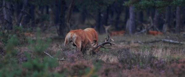 Vechtende herten - Foto: ©Louis Fraanje