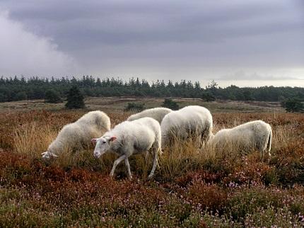 Rustige schapen