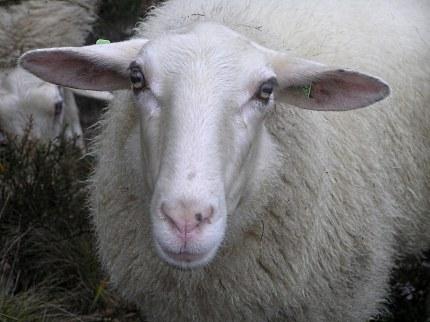 De dankbare blik waarmee de schapen je aankijken