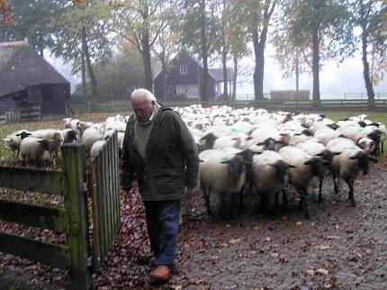 De schapen gaan op pad