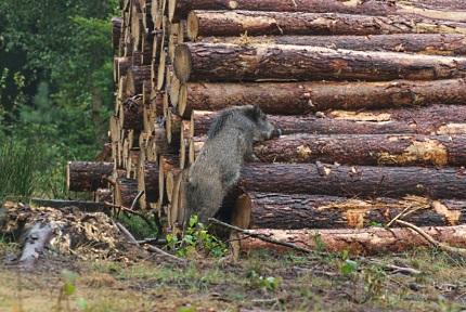 Zwijntje houtstapel 1- Foto: ©Gerrit Rekers