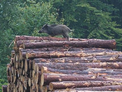 Zwijntje houtstapel 2 - Foto: ©Gerrit Rekers