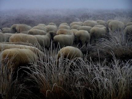 Nog meer grijze schapen