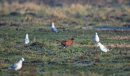 ze bleven, tot ongenoegen van de fazantenhaan, gewoon meepikken (klik om te vergroten)