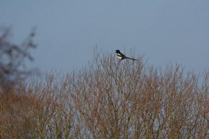 in een boom schreeuwt een ekster - Foto: ©Louis Fraanje