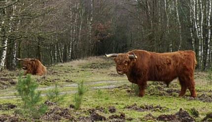 Midden op het pad stond een grote stier en in de berm lag er nog een (klik om te vergroten)