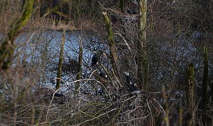 De reigers hebben het eilandje midden in het moeras niet voor zichzelf alleen (klik om te vergroten)