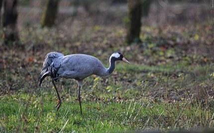 Foeragerende kraanvogel - Foto: Louis Fraanje (klik om te vergroten)