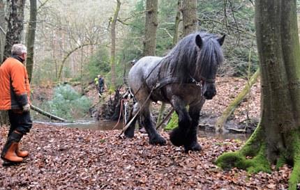 Trekpaard in actie (klik om te vergroten)