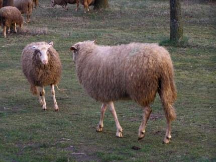 de jaarlingen daagden de ooien uit