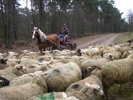 Moeiteloos passeerden schapen en paard elkaar
