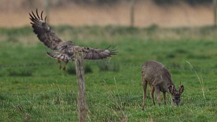 Een buizerd landt plotseling vlakbij de reebok (klik om te vergroten)