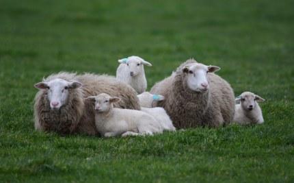twee moeders met hun vier kleintjes (klik om te vergroten)