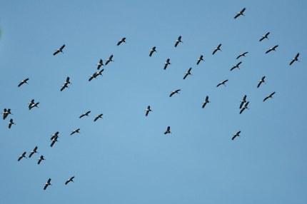 Trekkende kraanvogels - Foto: Louis Fraanje (klik om te vergroten)