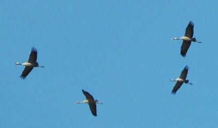 kraanvogels2